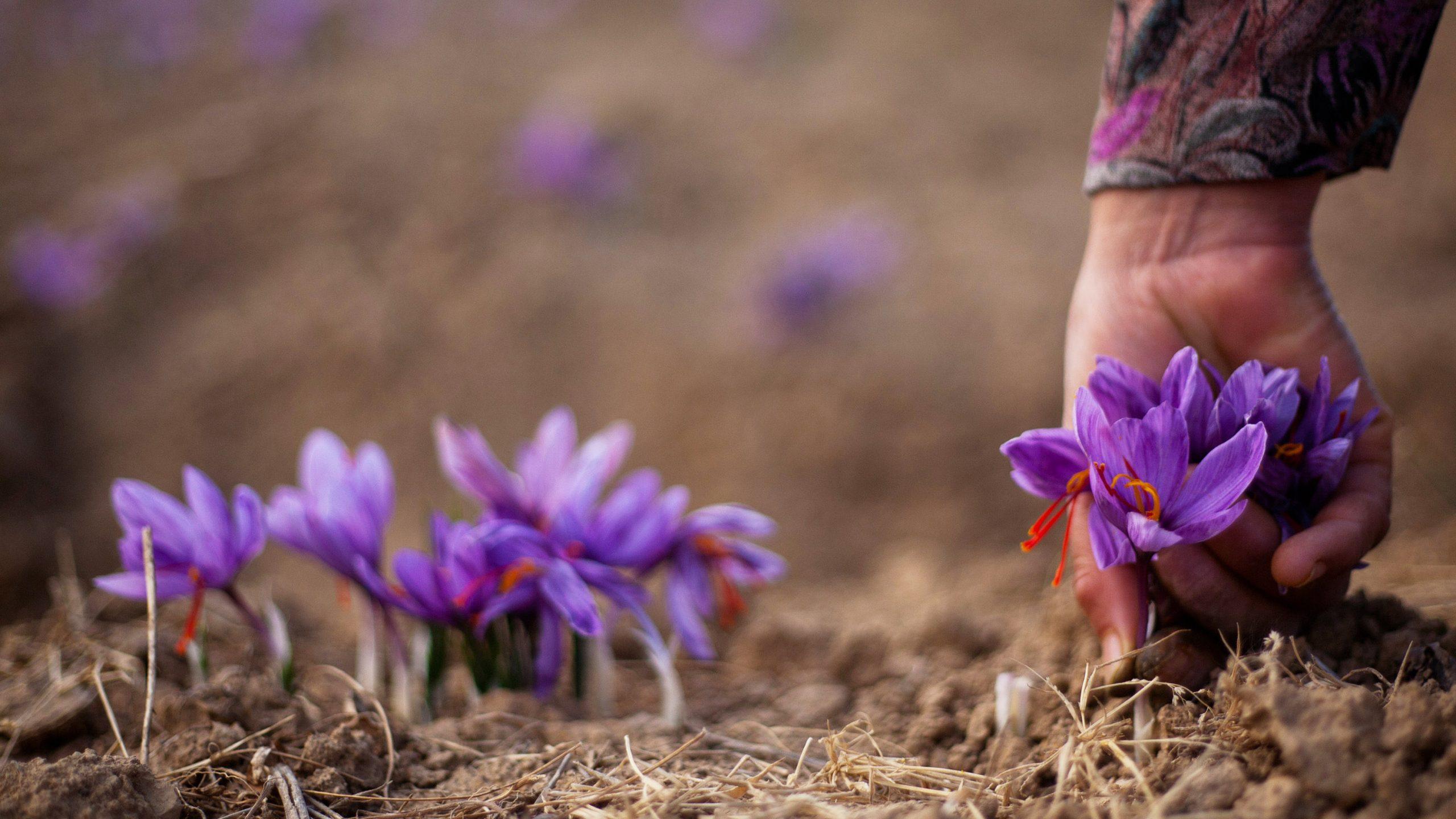 تاریخچه کاشت زعفران در ایران