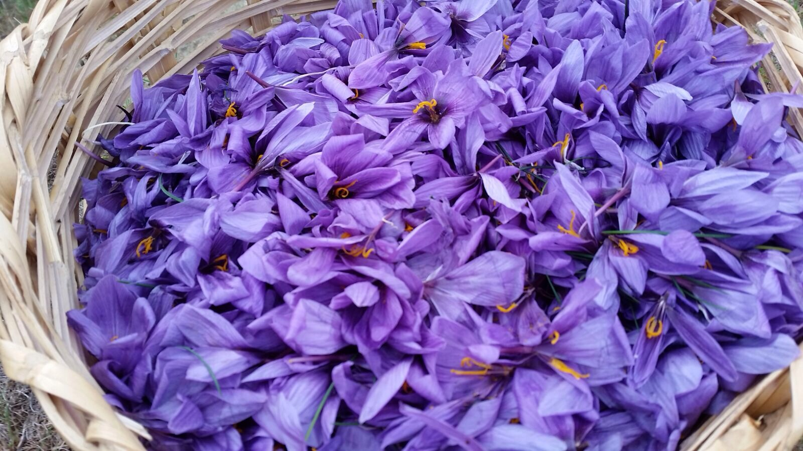 آبیاری مزرعه ی زعفران