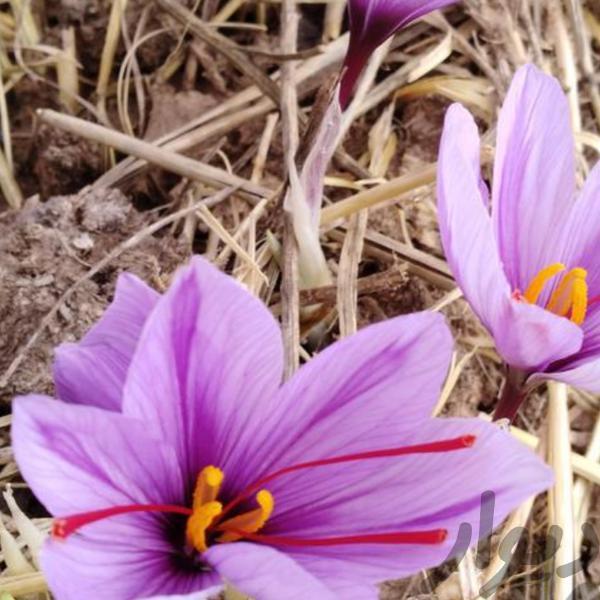 عوارض احتمالی مصرف زعفران