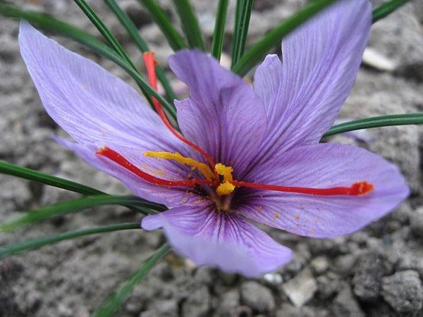 صفات ریختشناسی زعفران
