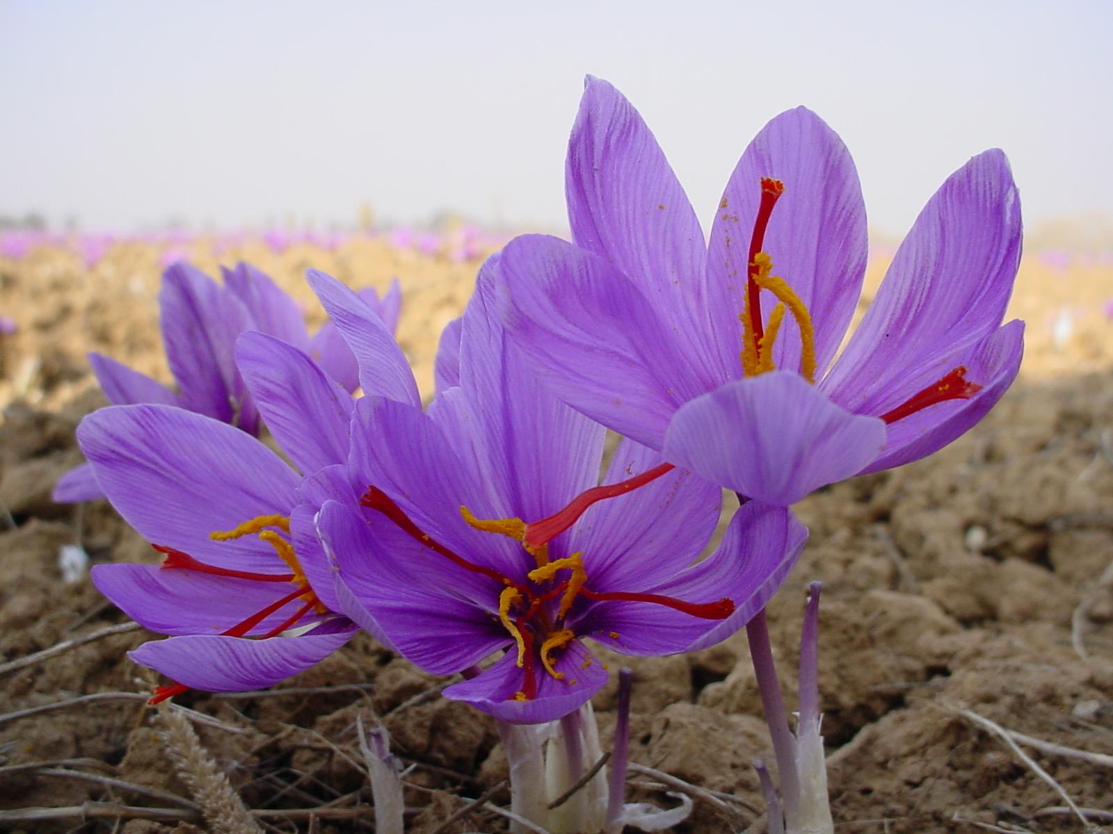 کاربرد گل زعفران در صنایع دارویی