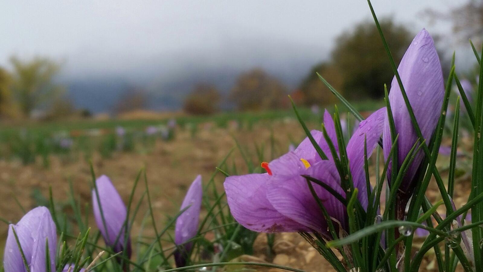 درمان اختلال نعوذ با دمنوش زعفران