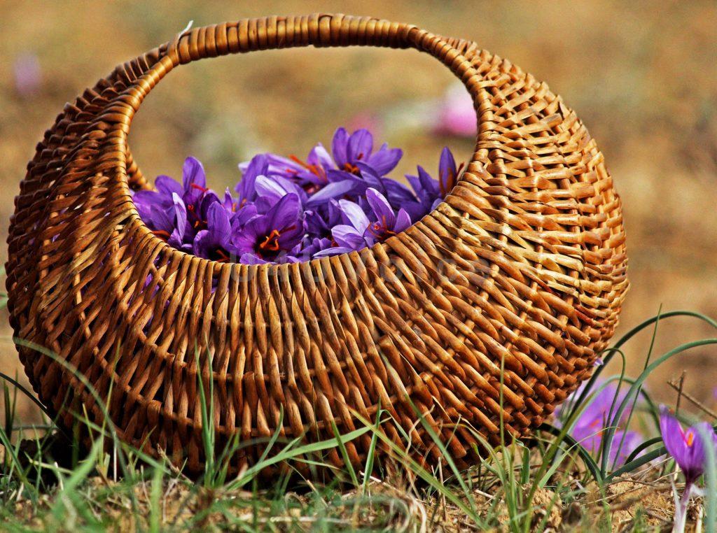 واقعیت هایی در مورد گیاه زعفران